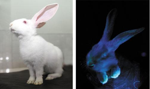 基因动物园里的转基因荧光兔